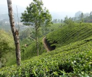 Kerala-Tea-Plantation