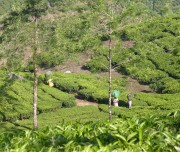 Kerala-Tea-Plantation1