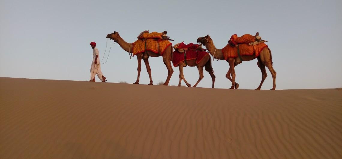 Camel Pushkar 3