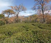 Dhauladhar Valley -Tea-Gardens